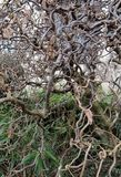 Common Hazel, Corylus avellana form contorta. During flowering royalty free stock photos