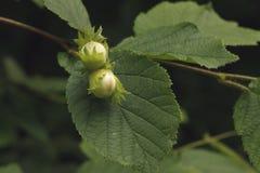 Common hazel, Corylus avellana, Royalty Free Stock Photos