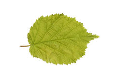 Common Hazel leaf isolated on white Stock Image
