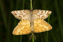 A Common Heath moth mating (Ematurga atomaria) Stock Photos