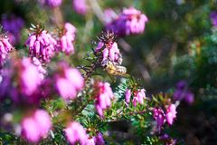 Common heather in blossom royalty free stock photo