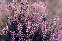 Common heather Calluna vulgaris blossoming outdoors Royalty Free Stock Photography