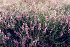 Common heather Calluna vulgaris blossoming outdoors Stock Images