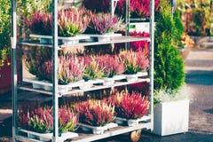 Common heather, Calluna vulgaris. Varieties in a gardening shop, Finland Royalty Free Stock Photos