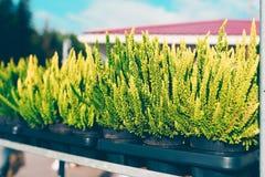 Common heather, Calluna vulgaris. Varieties in a gardening shop, Finland Stock Image