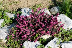 Common heather or Calluna vulgaris low growing perennial shrub flowering plant with dense purple flowers in racemes planted in. Common heather or Calluna stock photo