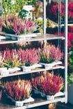 Common heather, Calluna vulgaris. Varieties in a gardening shop, Finland Stock Photos
