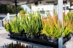 Common heather, Calluna vulgaris. Varieties in a gardening shop, Finland Royalty Free Stock Image