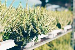 Common heather, Calluna vulgaris white. Common heather, Calluna vulgaris varieties in a gardening shop, Finland Royalty Free Stock Image