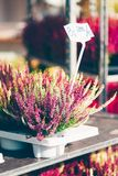 Common heather, Calluna vulgaris. Varieties and price tag in a gardening shop, Finland Royalty Free Stock Photography