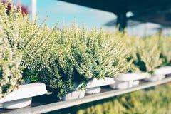 Common heather, Calluna vulgaris white. Common heather, Calluna vulgaris varieties in a gardening shop, Finland Stock Photography