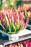 Common heather, Calluna vulgaris white and pink. Common heather, Calluna vulgaris varieties in a gardening shop, Finland Royalty Free Stock Photography