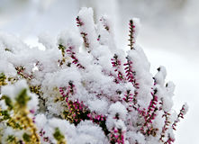 Common heather covered with snow stock images