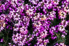 Common heather flower Calluna vulgaris in pink or velvet col. Or for background stock images