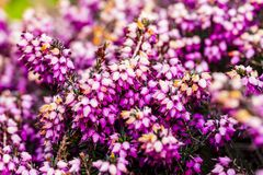 Common heather flower  Calluna vulgaris  in pink or velvet col. Or for background Stock Photography