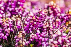 Common heather flower Calluna vulgaris in pink or velvet col. Or for background royalty free stock photos