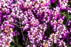 Common heather flower Calluna vulgaris in pink or velvet col. Or for background stock image