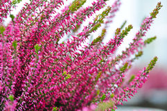 Common heather flowers. Common heather (Calluna vulgaris) flowers, closeup shot Royalty Free Stock Photography