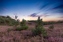 Endless heather fields at dawn