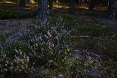 Common heather, ling, or simply heather in forest near Shatsk Royalty Free Stock Images