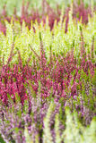 Common heather Royalty Free Stock Photo