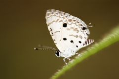The Common Hedge Blue stock photos