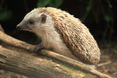 Common hedgehog Royalty Free Stock Photos