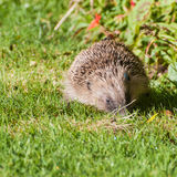 Common Hedgehog Royalty Free Stock Photography