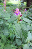 Common Hemp-nettle (Galeopsis tetrahit) Royalty Free Stock Images