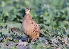 Common hen pheasant. Portrait of common hen pheasant in countryside Stock Image