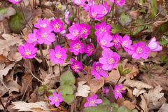 Common Hepatica Royalty Free Stock Image