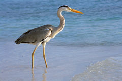 The common heron Royalty Free Stock Photography