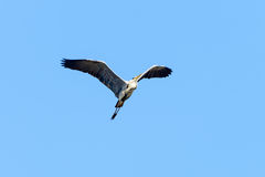 Common heron Royalty Free Stock Images