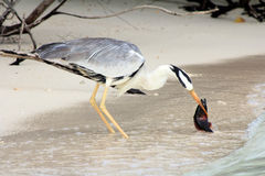 The common heron Royalty Free Stock Image