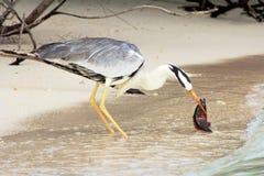The common heron Royalty Free Stock Photo
