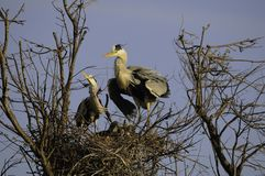 Common herons in nest Royalty Free Stock Image