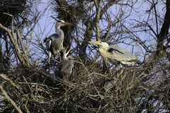 Common herons in nest Royalty Free Stock Photography