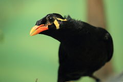 Common hill myna. The detail of common hill myna Royalty Free Stock Image