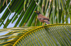 Common Hill Myna bird on coconut tree. In thailand Stock Photos