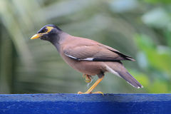 Common Hill Myna bird Royalty Free Stock Images