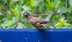 Common Hill Myna bird on the fence Royalty Free Stock Photo