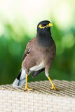 Common hill myna bird Stock Images