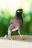 Common hill myna bird Stock Photography