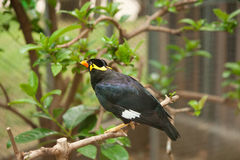 Common hill myna bird Royalty Free Stock Image