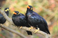 Common hill myna. The couple of common hill mynas sitting on the branch Stock Photo
