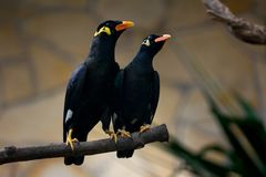 Common hill myna stock photo