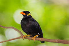 Common Hill Myna & x28;Gracula religiosa intermedia& x29;. Close up of Common Hill Myna & x28;Gracula religiosa intermedia& x29;, isolated on nature background stock photography