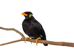 Common Hill Myna & x28;Gracula religiosa intermedia& x29; Royalty Free Stock Images