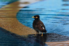 The Common Hill Myna (Gracula religiosa), sometimes spelled mynah and formerly simply known as Hill Myna, Thailand Royalty Free Stock Photos