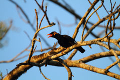 Common hill myna Royalty Free Stock Photography